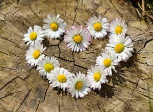 Daisies arranged in a heart